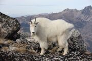 800px-Goat_and_Cashmere_(2962879918)